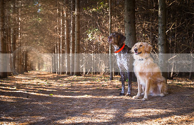 two dogs together in forest of pine trees with sunshine