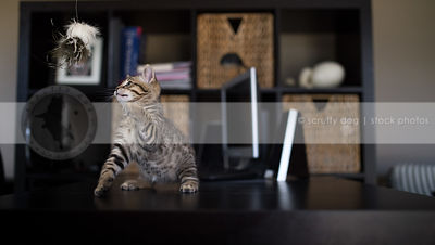 small cute striped kitten swatting at toy standing on two legs on desk indoors