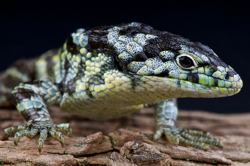 Abronia taeniata, Bromeliad alligator lizard