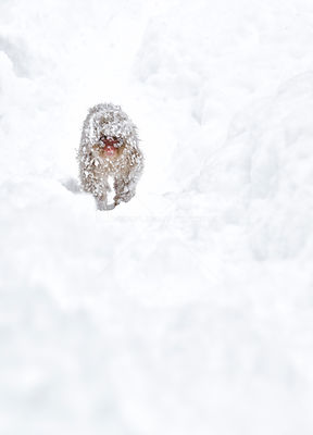 Japanese Macaque (Macaca fuscata) juvenile approaches the hot springs and feeding area covered in icy snow from the cold nigh...
