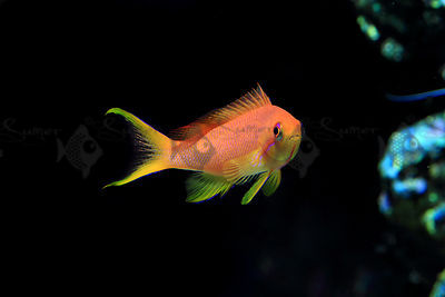 Saltwater_Lyretail_anthias