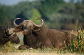 buffalo (Syncerus caffer), Lower Zambezi National Park, Zambia