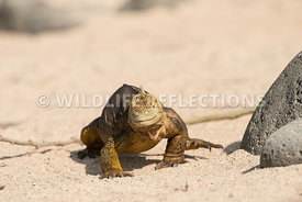 galapagos_land_iguana_north_seymour_walk-3