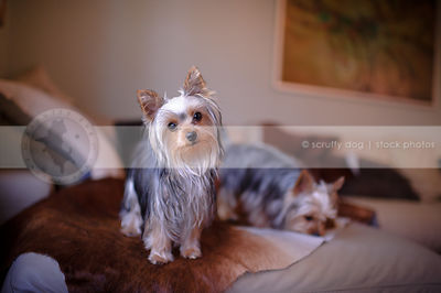 two small yorkie dogs on cowhide on couch at home indoors