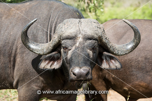 Cape buffalo, Syncerus caffer, Kruger National Park, South Africa