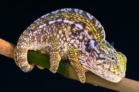 Furcifer_lateralis_original