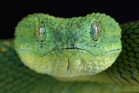 West African leaf viper (Atheris chlorechis)