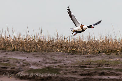 Shelduck in flight