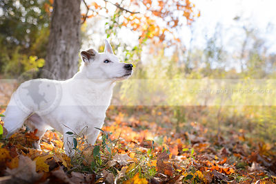 white senior jack russell standing in autumn leaves