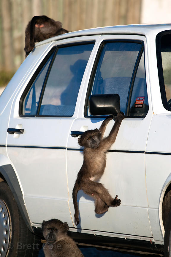 Chacma baboons from the Buffels Bay troop climb on a car at the Buffels Bay visitor's center, Cape Peninsula, South Africa