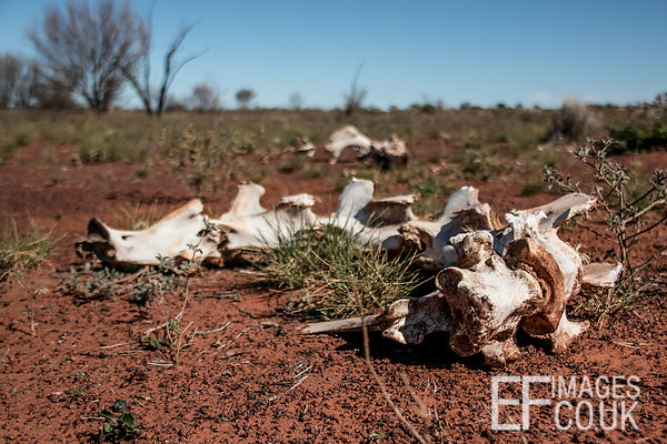 Camel Roadkill Bones On The Great Central Road