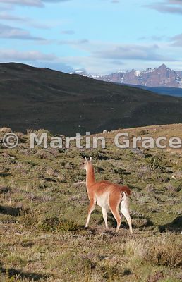 Male Guanaco (Lama guanicoe) on sentry duty, looking out for pumas, Estancia Laguna Amarga, Torres del Paine, Patagonia, Chile