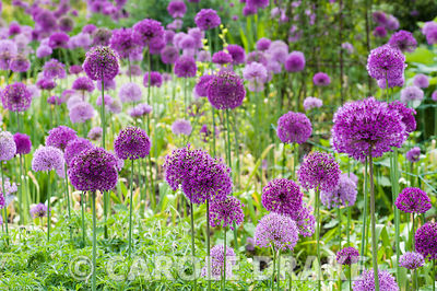 A mixture of Allium hollandicum 'Purple Sensation' and paler A. aflatunense in the Centenary borders. Sir Harold Hillier Gard...