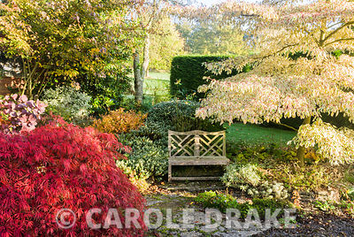 Seat surrounded by hebes, tiered Cornus controversa 'Variegata' and the autumn reds of Acer palmatum var. dissectum variety. ...