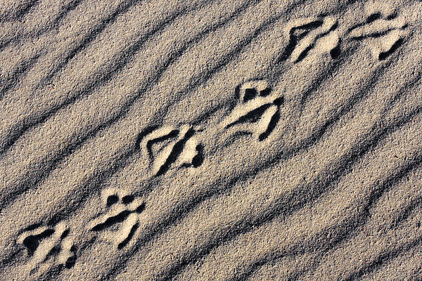 Egyptian geese (Alopochen aegyptiacus) tracks on the dunes of Platboom, Cape Peninsula, South Africa