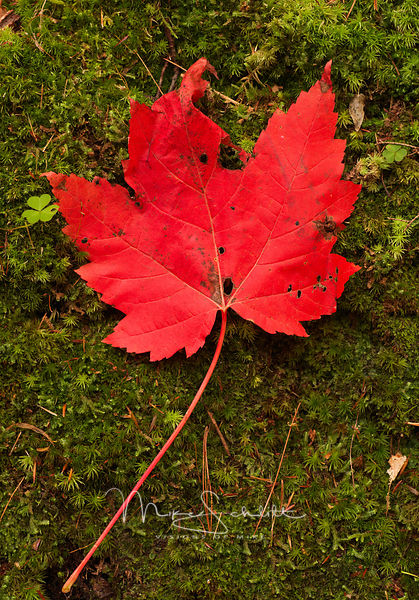 Red_Maple_Leaf_Green_Moss