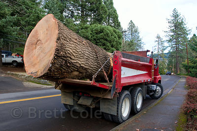 Huge Oregon White Oak tree cut in Eugene, Oregon