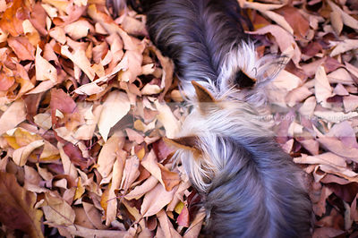 two small yorkie dogs together sniffing in autumn leaves