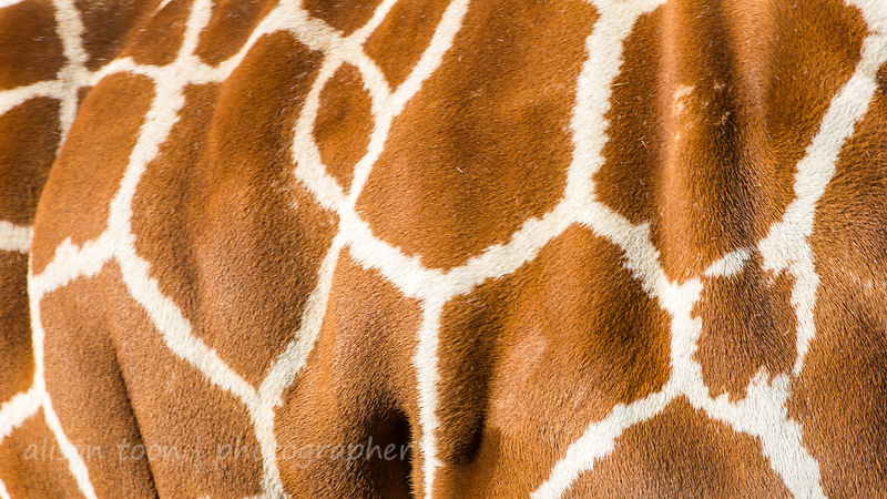 Reticulated Giraffe markings