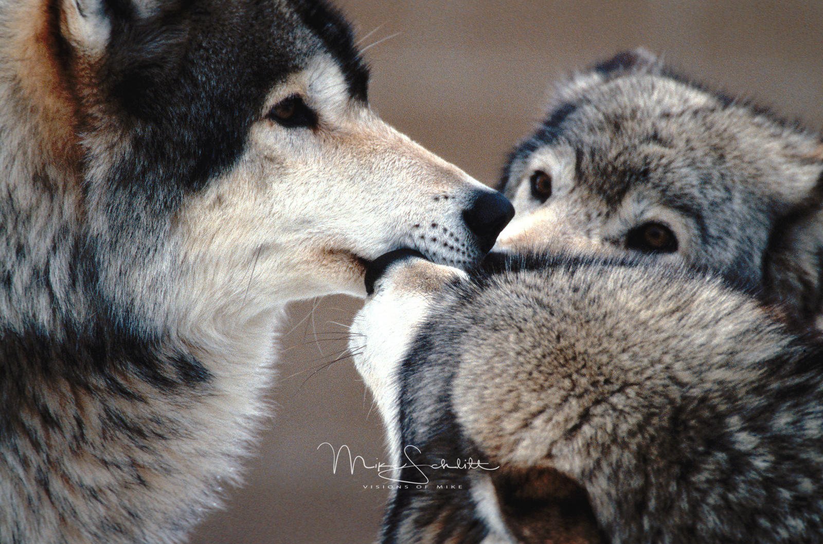 B_Yellowstone_3_wolves_close_up