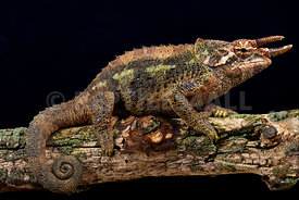 Werner's Three-Horned Chameleons (Trioceros werneri)