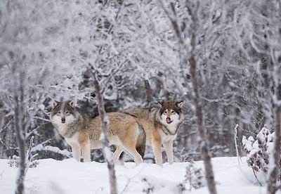 Ulv (Canis lupus), Langedrag naturpark / controlled environments