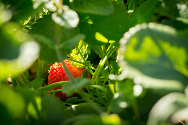 hidden solo strawberry growing in organic community garden marin county california usa