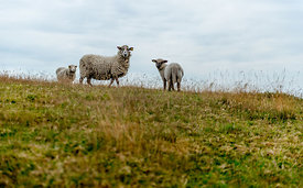 Danish sheep
