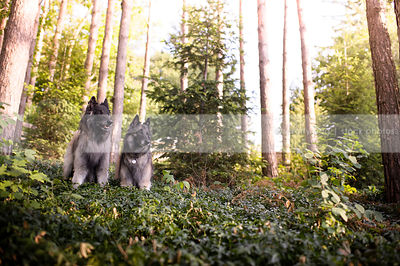two belgian shepherd dogs together in summer vegetation