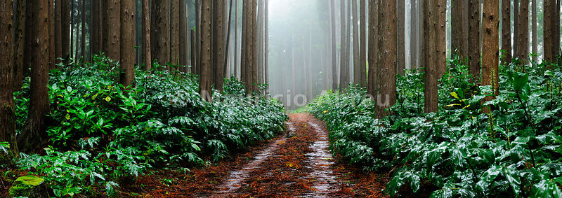 Falca Forest Reserve in a foggy day. Faial, Azores islands, Portugal