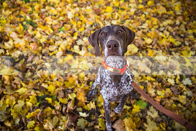 brown roan dog looking upward sitting pointing in autumn leaves