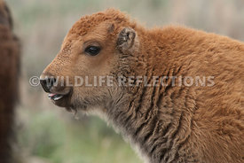 bison_calf_profile