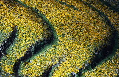 Highland farmland with yellow meskal daisies flowering in wet season, Ethiopia