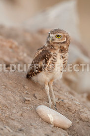 burrowing_owl_stone_2