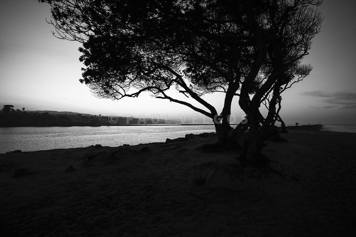 Newport Beach Jetty Tree Black and White Photo