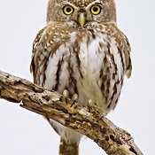 Pearlspotted Owl from the front against white clouds