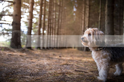 profile of small pretty yorkie cross breed dog standing in forest
