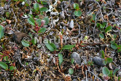 Knotweed with bulbils (Polygonum viviparum) surrounded by Polar Willows (Salix polaris), Blomstrandhalvoya, Kongsfjorden, Sva...