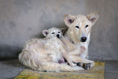 Street dog mother and puppy, Pushkar, Rajasthan, India