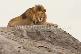lion_male_rock_top_10