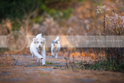 two terrier dogs running chasing on park path in autumn