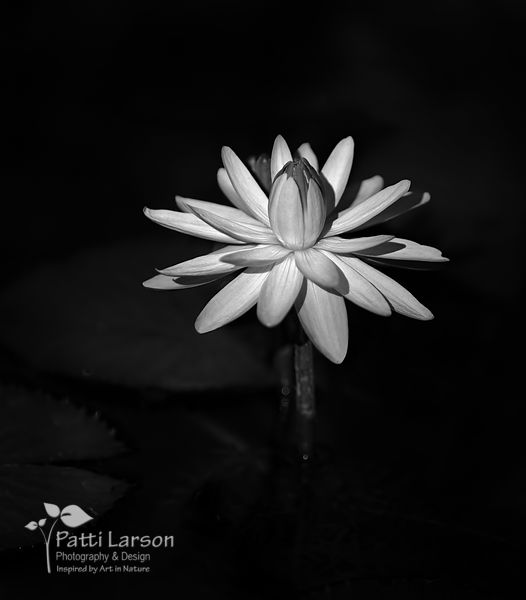 Water Lily - Back and White