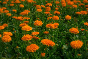 Field of Calendula (pot marigold)