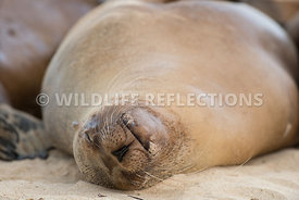 galapagos_sea_lion_santa_fe_sand_face-4