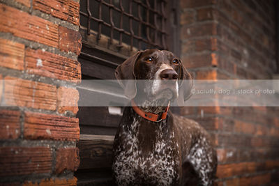 alert brown ticked dog at wood door of urban brick wall