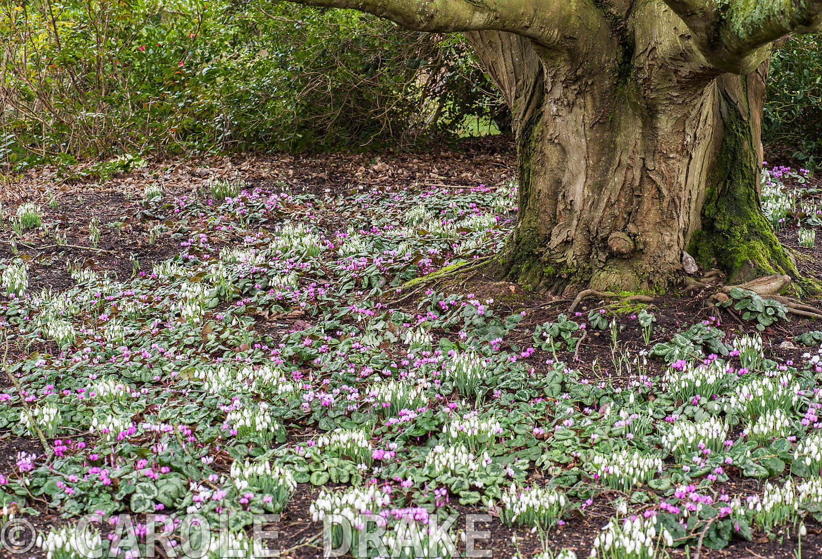 Cyclamen coum and snowdrops carpet the ground under a tree in the Winter Garden. Sir Harold Hillier Gardens, Ampfield, Romsey...