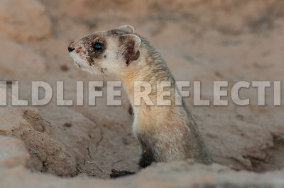 ferret_stretching_from_burrow-1