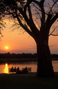 Baobab tree at sunset at the Shire river, Mvuu Lodge, Liwonde National Park, Malawi