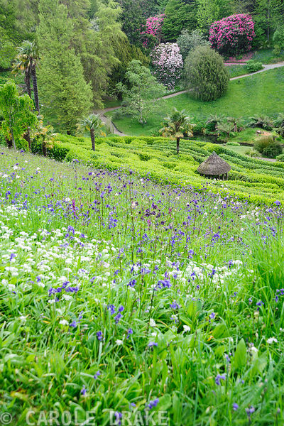 Sloping meadow above the laurel maze is full of naturalized orchids, bluebells, ramsons and aquilegias. Glendurgan, Mawnan Sm...