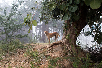 An Indian Pariah street dog chases langur monkey in a large old fig tree at the 7th century Ajaypal Shiva Temple, near Pushka...